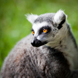 Lemur Kata (Lemur Catta) Photo by  l i g h t p o e t
