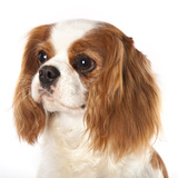 Cavalier King Charles Spaniel Dog Photographic Print by  Lilun