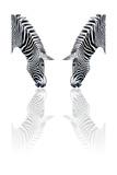 Zebra Reflection Posters af sean gladwell