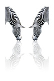 Zebra Reflection Posters by sean gladwell