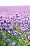 Lush Blooming Chives Field Photographic Print by  cmfotoworks
