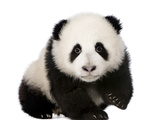 Giant Panda (4 Months) - Ailuropoda Melanoleuca Prints by  Life on White