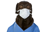 Labrador Surgeon With Mask Photographic Print by  JPagetRFphotos