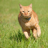 Orange Tabby Cat Running Fast Towards The Viewer In Green Grass Posters by Sari ONeal