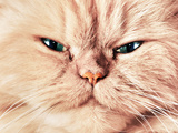 Cute Cat Face Close Up Portrait. Looking Straight At The Camera Print by PHOTOCREO Michal Bednarek