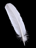 Pigeon Feather On The Black Background Photo by  scorpp
