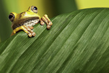 Tree Frog Looking Over Green Leaf Amphibians Are Nocturnal Endangered Animals Posters by  kikkerdirk