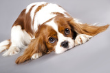 Litter Of Cavalier King Charles Spaniel Photographic Print by  Lilun