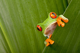Red Eyed Tree Frog Peeping Curiously Between Green Leafs In Costa Rica Rainforest Lámina fotográfica por  kikkerdirk