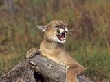 Cougar Growling Fotodruck von  outdoorsman