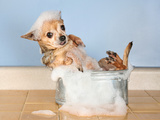 A Chihuahua Taking A Bath Poster by  graphicphoto