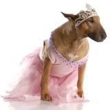 Spoiled Dog - Bull Terrier In Pink Tutu Print by Willee Cole