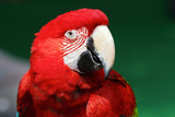 Colorful Red Macaw Photographic Print by  leungchopan