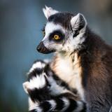 Lemur Kata (Lemur Catta) Photographic Print by  l i g h t p o e t