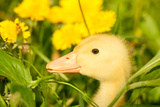 Small Yellow Duckling Outdoor On Green Grass Poster by  goinyk