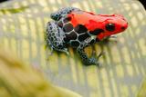 Tropical Pet Frog, Ranitomeya Amazonica Posters by  kikkerdirk
