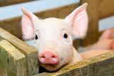 El cerdo Pósters por  Baloncici