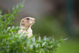 Very Cute Black Tailed Prairie Dog (Cynomys Ludovicianus) Posters by  l i g h t p o e t