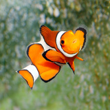 Tropical Reef Fish - Clownfish (Amphiprion Ocellaris) Macro With Shallow Dof Poster von  Kletr