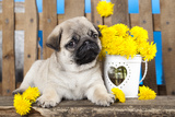 Pug Puppy And Spring Dandelions Flowers Photographic Print by  Lilun
