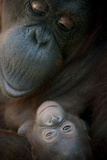Mother Orangutan And Her Newborn Baby 1 Months - Pongo Pygmaeus Photographic Print by  Life on White