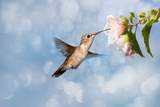 Dreamy Image Of A Hummingbird Feeding On A Pale Pink Hibiscus Flower Prints by Sari ONeal