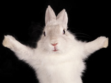 Funny Rabbit With Open Pads On Black Background Posters by  PH.OK