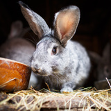 Cute Rabbit Popping Out Of A Hutch (European Rabbit - Oryctolagus Cuniculus) Prints by  l i g h t p o e t