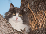 Blue, Cream And White Diluted Calico Cat Up In A Tree, Looking At The Viewer Photographic Print by Sari ONeal