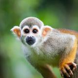 Close-Up of a Common Squirrel Monkey (Saimiri Sciureus) Fotografisk tryk af  l i g h t p o e t