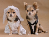A Male And A Female Chihuahua Dressed As A Bride And Groom, Isolated Posters by  vitalytitov