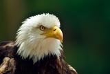 The Bald Eagle (Haliaeetus Leucocephalus) Portrait Print by geanina bechea