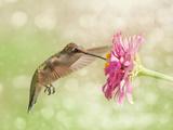Dreamy Image Of A Ruby-Throated Hummingbird Feeding On A Pink Zinnia Flower Papier Photo par Sari ONeal