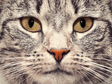 Cute Cat Face Close Up Portrait. Looking Straight At The Camera Posters by PHOTOCREO Michal Bednarek