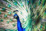 Splendid Peacock with Feathers Out (Pavo Cristatus) Photographic Print by  l i g h t p o e t
