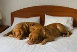 Dogue De Bordeaux Funny Couple In The Bed Posters by  vitalytitov