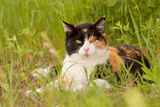 Beautiful Calico Cat Resting In Spring Grass, Looking At The Viewer Posters by Sari ONeal