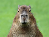 Portrait Of A Young Capybara Prints by  henner