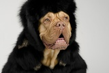 Dog Wearing Fur Coat And Cap With Ear Flaps Portrait Photo by  vitalytitov