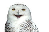 Snowy Owl (Bubo Scandiacus) Smiling And Laughing Isolated On White Posters by  l i g h t p o e t