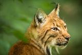 Eurasian Lynx (Lynx Lynx) Poster by  l i g h t p o e t