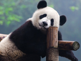 Giant Panda Bear Photo by  wusuowei