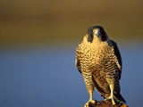 Peregrine Falcon Photographic Print by  outdoorsman
