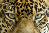 Close Up Of Jaguar Or Panthera Onca Eyes, Costa Rica Posters by hotshotsworldwide