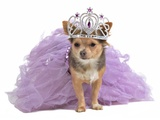 Princess Dog With Diadema And Magnificent Dress Posters by  vitalytitov