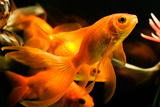 Tropical Aquarium Fish Macro Shot Print by  PH.OK