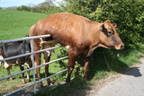 Cow And Gate Photographic Print by George Green