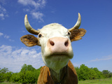 Brown Holstein Cow In The Field Looking At You Photographic Print by  Volokhatiuk