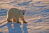 Polar Bear Cub Photographic Print by  outdoorsman
