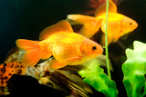 Tropical Aquarium Fish Macro Shot Photographic Print by  PH.OK